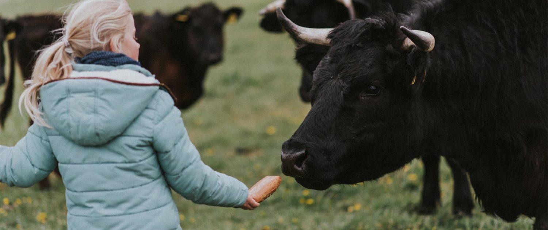 Welsh-Black Rinder